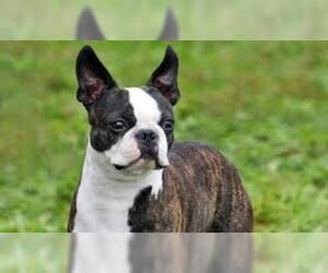 Small #4 Breed Boston Terrier image