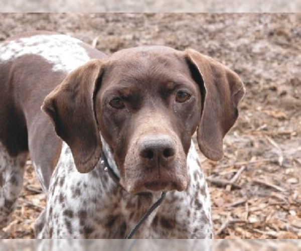 French Gascony Pointer