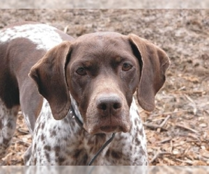 Image of French Gascony Pointer Breed