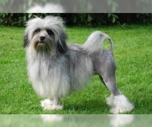 Small #6 Breed Lowchen image