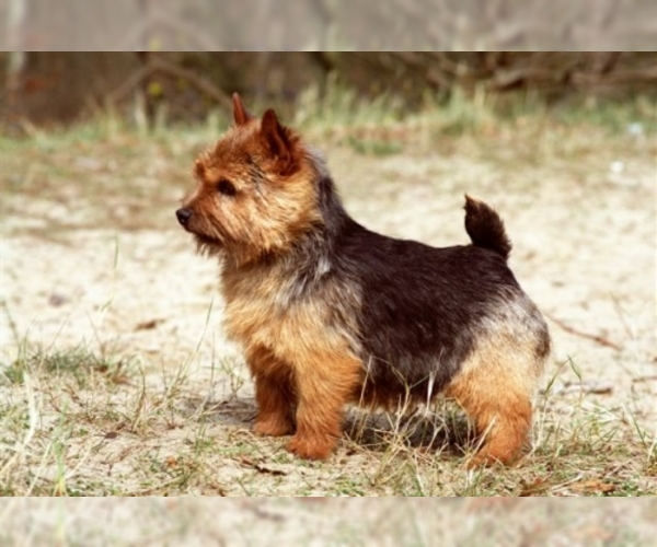 Image of Norwich Terrier Breed