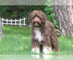Small #6 Breed Aussiedoodle image
