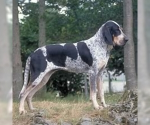 Image of Grand Bleu De Gascogne Breed