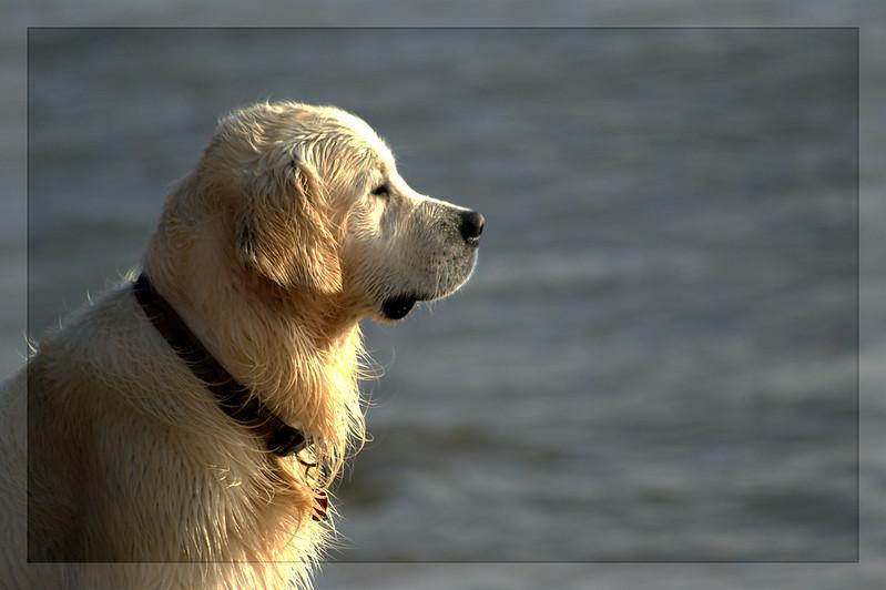 Image of Golden Labrador Breed