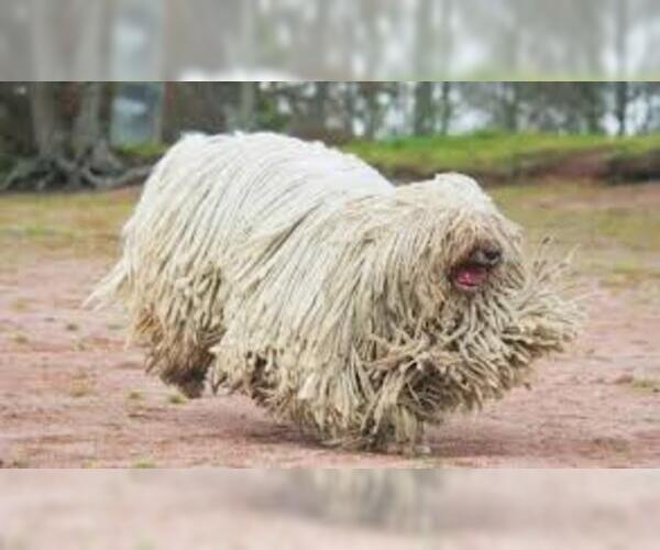 Medium Photo #6 Komondor Dog Breed