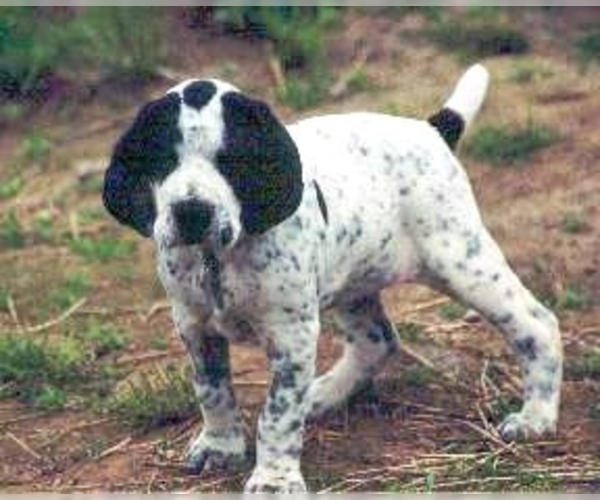 Image of Auvergne Pointer Breed