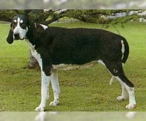 Great Anglo-French White and Black Hound