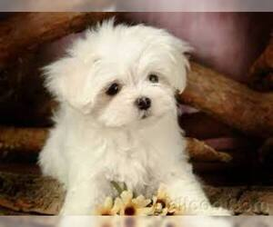 Small #1 Breed Maltese image
