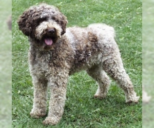 Image of Lagotto Romagnolo breed