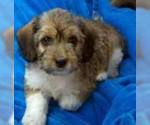 Poogle Breed Information And Pictures On Puppyfinder Com