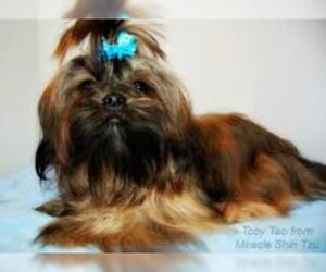 Small #1 Breed Shih Tzu image
