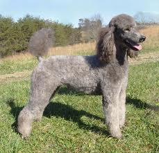 Full screen Photo #5 Poodle (Standard) Dog Breed