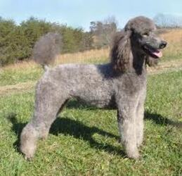 Small #4 Breed Poodle (Standard) image