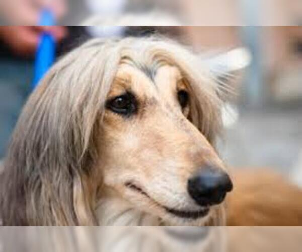 Medium Photo #18 Afghan Hound Dog Breed
