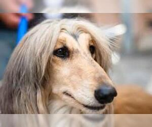 Small #17 Breed Afghan Hound image