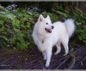 Small #3 Breed Samoyed image