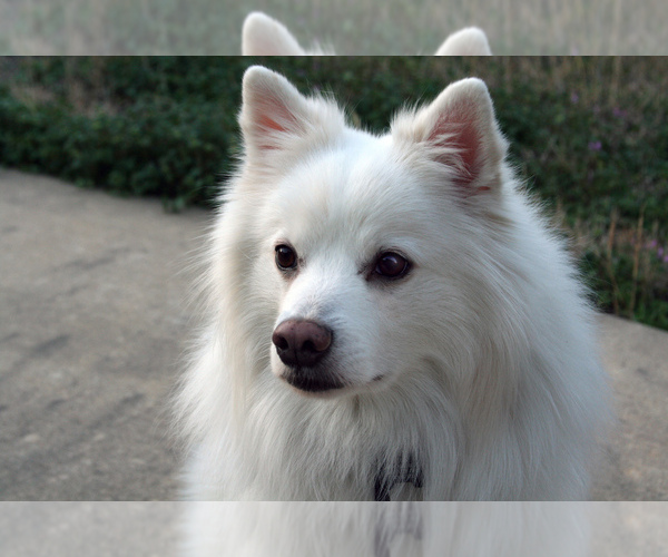Medium Photo #4 American Eskimo Dog (Toy) Dog Breed