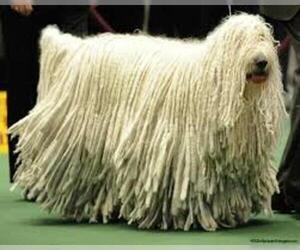 Small Photo #8 Komondor Dog Breed