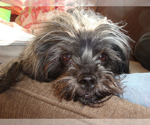 Small #8 Breed Affenpinscher image