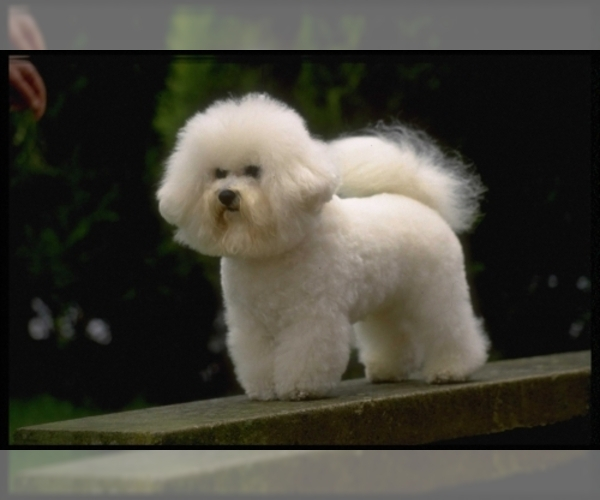 Image of Bichon Frise Breed
