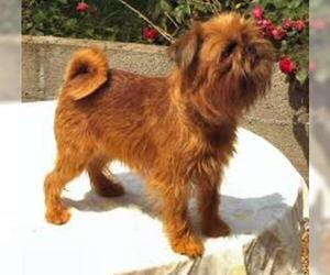 Small #4 Breed Brussels Griffon image
