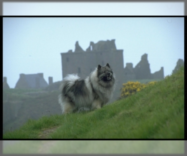 Image of Keeshond Breed