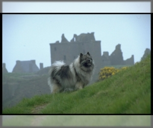 Image of breed Keeshond