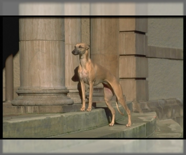 Image of Greyhound Breed