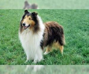 Small #1 Breed Collie image