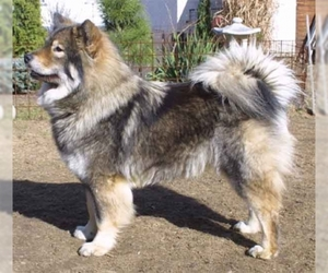 Image of Eurasier Breed
