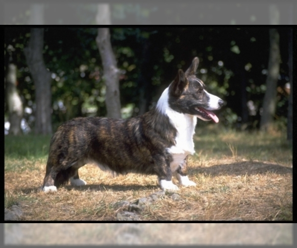 Image of Cardigan Welsh Corgi Breed