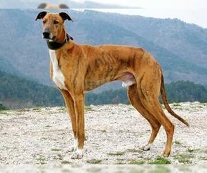 Image of Hungarian Greyhound breed