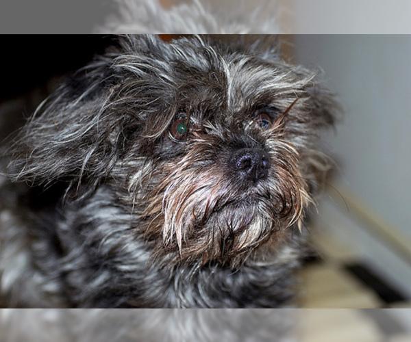 Medium Photo #3 Affenpinscher Dog Breed