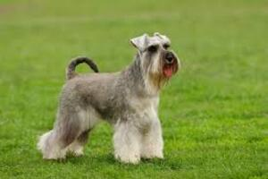 Small #1 Breed Schnauzer (Miniature) image