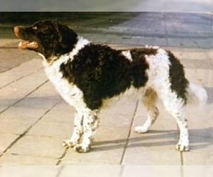 Image of Frisian Water Hound breed