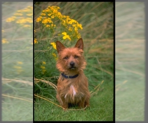Image of breed Australian Terrier
