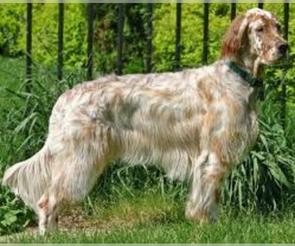 Medium Photo #5 English Setter Dog Breed