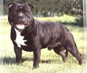 Small Photo #6 Staffordshire Bull Terrier Dog Breed