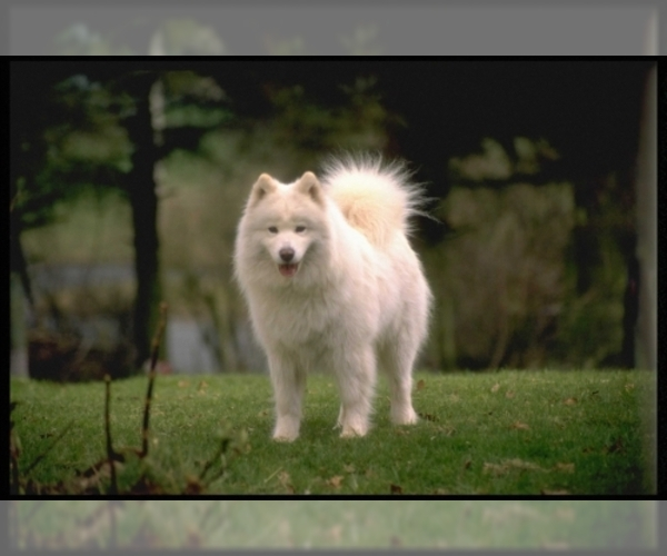 Image of Samoyed Breed