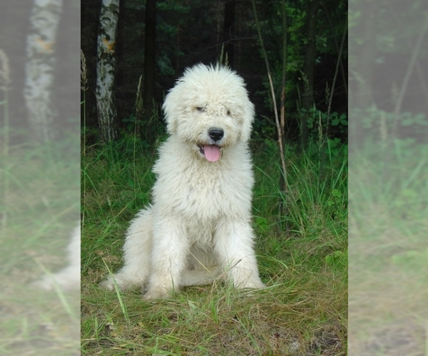 Image of Komondor Breed