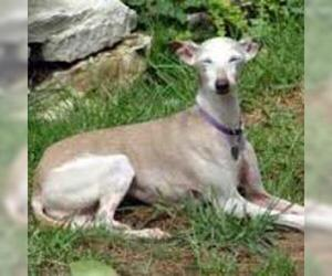 Small #3 Breed Italian Greyhound image