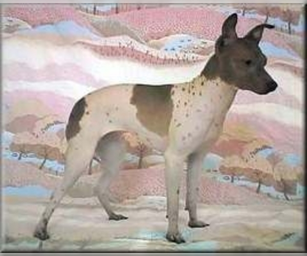 Miniature American Hairless Terrier
