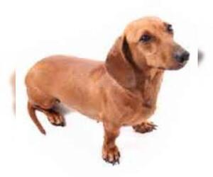 Small #2 Breed Dachshund image