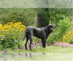 Image of Giant Maso Mastiff breed