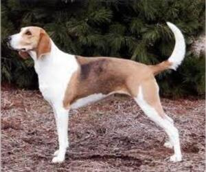 Small #3 Breed American Foxhound image
