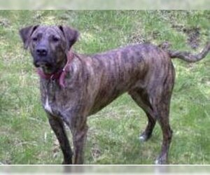 Image of Plott Hound breed