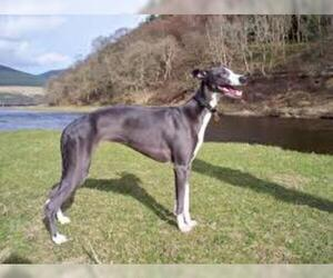 Small #5 Breed Whippet image