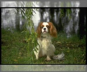 Image of Cavalier King Charles Spaniel breed