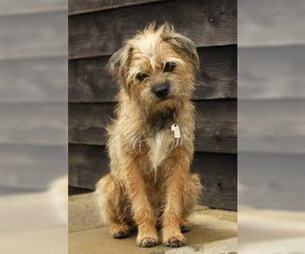 Medium Photo #6 Border Terrier Dog Breed