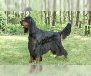 Small Photo #3 Gordon Setter Dog Breed